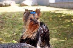Σκυλί τεριέ του Γιορκσάιρ στην πράσινη χλόη Στοκ Φωτογραφίες