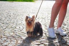 Σκυλί τεριέ του Γιορκσάιρ στην πράσινη χλόη Στοκ Εικόνες