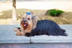 Σκυλί τεριέ του Γιορκσάιρ στην πράσινη χλόη Στοκ φωτογραφία με δικαίωμα ελεύθερης χρήσης