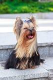 Σκυλί τεριέ του Γιορκσάιρ στην πράσινη χλόη Στοκ εικόνες με δικαίωμα ελεύθερης χρήσης