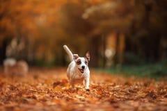 Σκυλί τεριέ του Jack Russell με τα φύλλα χρυσό και κόκκινο χρώμα, περίπατος στο πάρκο Στοκ Φωτογραφίες