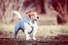 Σκυλί τεριέ του Jack Russell με το άριστο εξωτερικό που στέκεται και που θέτει Στοκ φωτογραφία με δικαίωμα ελεύθερης χρήσης