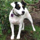 Σκυλί τεριέ του Jack Russell στον κήπο Στοκ φωτογραφίες με δικαίωμα ελεύθερης χρήσης