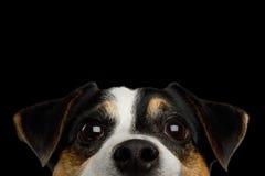 Σκυλί τεριέ του Jack Russell στο μαύρο υπόβαθρο Στοκ εικόνες με δικαίωμα ελεύθερης χρήσης