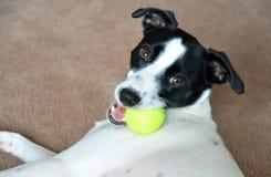 Σκυλί Τεριέ του Russell με τη σφαίρα αντισφαίρισης στοκ εικόνες