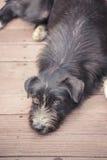 Σκυλί της Ασίας Στοκ εικόνες με δικαίωμα ελεύθερης χρήσης