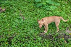 Σκυλί της Ασίας Στοκ Εικόνα