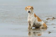 σκυλί της Ινδίας Στοκ Εικόνες