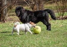 Σκυλί της νέας γης και τεριέ του Jack Russell ο Μαύρος εναντίον του λε μεγάλος μικρός εναντίον Στοκ εικόνες με δικαίωμα ελεύθερης χρήσης