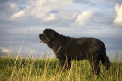 Σκυλί της νέας γης που κοιτάζει επίμονα στο horizont Στοκ Εικόνα