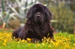 Σκυλί της νέας γης Στοκ φωτογραφία με δικαίωμα ελεύθερης χρήσης