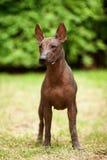 Σκυλί της φυλής Xoloitzcuintli, μεξικάνικο άτριχο σκυλί που στέκεται υπαίθρια τη θερινή ημέρα Στοκ Φωτογραφία