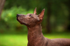 Σκυλί της φυλής Xoloitzcuintli, μεξικάνικο άτριχο σκυλί που στέκεται υπαίθρια τη θερινή ημέρα Στοκ Εικόνες