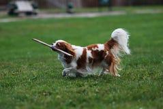 Σκυλί της Pet Στοκ Φωτογραφίες
