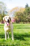 Σκυλί του Λαμπραντόρ (2 έτη) Στοκ φωτογραφία με δικαίωμα ελεύθερης χρήσης
