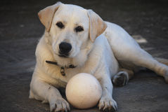 Σκυλί του Λαμπραντόρ με τη σφαίρα Στοκ Φωτογραφίες