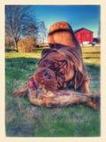 Σκυλί του Μπορντώ Στοκ φωτογραφίες με δικαίωμα ελεύθερης χρήσης