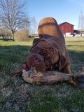Σκυλί του Μπορντώ Στοκ Εικόνες