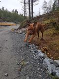 Σκυλί του Μπορντώ Στοκ φωτογραφία με δικαίωμα ελεύθερης χρήσης