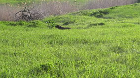 Σκυλί του drathaar κυνηγιού φυλής στον πράσινο τομέα απόθεμα βίντεο