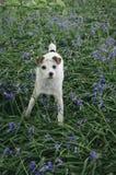 Σκυλί του Jack russel με τα bluebells στοκ εικόνες