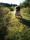 Σκυλί του ST Bernard Στοκ Φωτογραφίες