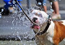 Σκυλί το καυτό καλοκαίρι Στοκ Εικόνα