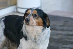Σκυλί τρία χρώματα Στοκ φωτογραφία με δικαίωμα ελεύθερης χρήσης