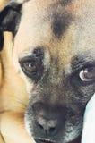 σκυλί λυπημένο Στοκ εικόνες με δικαίωμα ελεύθερης χρήσης