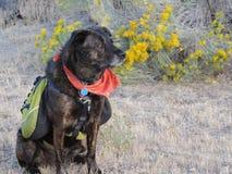 Σκυλί υπηρεσιών Στοκ φωτογραφίες με δικαίωμα ελεύθερης χρήσης