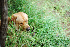 Σκυλί φρουράς Στοκ εικόνα με δικαίωμα ελεύθερης χρήσης