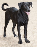 Σκυλί φυλής Λαμπραντόρ-retriever στο κόκκινο νησί οφθαλμών, Ώστιν Τέξας Στοκ Φωτογραφία