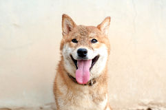 Σκυλί χαμόγελου με την άμμο στο πρόσωπο στοκ εικόνες με δικαίωμα ελεύθερης χρήσης