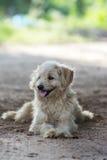 σκυλί χνουδωτό Στοκ Εικόνες