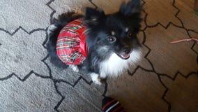 σκυλί χνουδωτό Στοκ Φωτογραφία