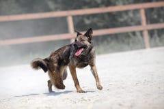 Σκυλί χωρίς το πόδι Δυστυχισμένο ζώο Στοκ Εικόνα