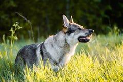Σκυλί λύκων στον τομέα στο ηλιοβασίλεμα στοκ εικόνα με δικαίωμα ελεύθερης χρήσης
