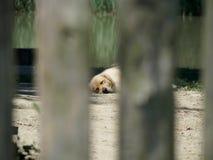 Σκυλί ύπνου μέσω του χάσματος στο φράκτη Στοκ Φωτογραφίες