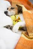 Σκυλί ύπνου με το παρόν δώρο κιβωτίων Στοκ Εικόνες