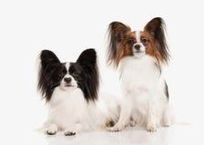 Σκυλί Δύο κουτάβια Papillon σε ένα άσπρο υπόβαθρο Στοκ Φωτογραφία