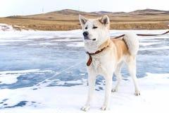 Σκυλί Akita στην τράπεζα των ομοίων Στοκ φωτογραφία με δικαίωμα ελεύθερης χρήσης