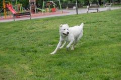 Σκυλί Alabai που τρέχει στη χλόη Εκλεκτική εστίαση στο σκυλί Στοκ Εικόνες