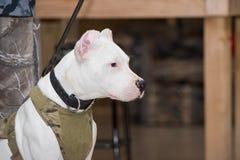 Σκυλί Argentino Dogo που κοιτάζει και που κάθεται Στοκ Φωτογραφίες