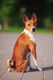 Σκυλί Basenji έξω στην πράσινη χλόη Στοκ Εικόνες