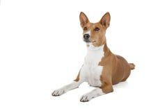 Σκυλί Basenji ή αφρικανικό Nela Στοκ εικόνες με δικαίωμα ελεύθερης χρήσης