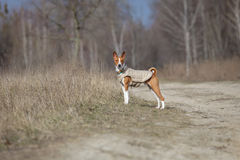 Σκυλί Basenji που περπατά στο πάρκο προαστιακός περίπατος άνοιξη ημέρας δασικός Στοκ φωτογραφία με δικαίωμα ελεύθερης χρήσης