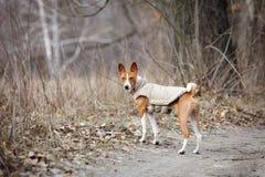 Σκυλί Basenji που περπατά στο πάρκο προαστιακός περίπατος άνοιξη ημέρας δασικός Στοκ εικόνες με δικαίωμα ελεύθερης χρήσης