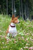 Σκυλί Basenji στο πάρκο Καθαρής φυλής πανέμορφο κόκκινο σκυλί Στοκ Φωτογραφία
