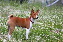 Σκυλί Basenji στο πάρκο Καθαρής φυλής πανέμορφο κόκκινο σκυλί Στοκ Φωτογραφίες