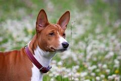 Σκυλί Basenji στο πάρκο Καθαρής φυλής πανέμορφο κόκκινο σκυλί Στοκ Εικόνες